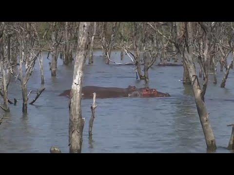 العرب اليوم - كينيا تُعلن خطر تناقص أعداد حيوان فرس النهر