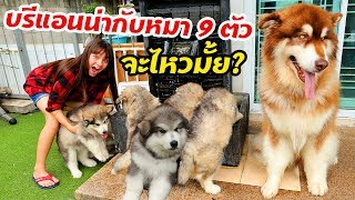 Brianna VS 9 Alaskan Malmute Puppies