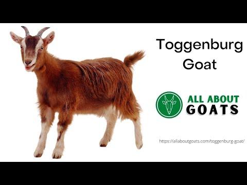 , title : 'Toggenburg Goat