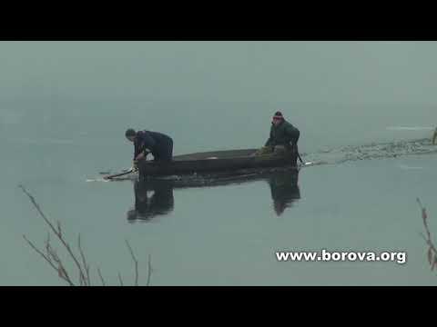 У Боровій на Фастівщині врятували лебедя з крижаного полону (відео)