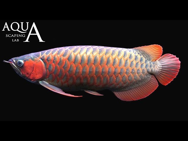 Aquascaping Lab - Arowana Silver and Dragon fish, Osteoglossum Bicirrhosum, Scleropages description