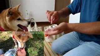 柴犬小春 【忘れ物注意】助けてダイソーさん!困ったときの神頼み^^