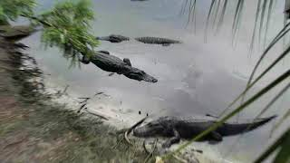 Alligator Swamp and Spoonbills Cam 06-08-2018 14:20:27 - 15:20:28