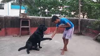 Black Labrador Lucky