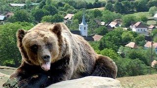 Bears Of Transylvania