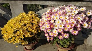 How To Care Chrysanthemum Flower Plants?
