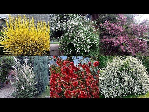 Самые неприхотливые цветущие кустарники для сада и на даче