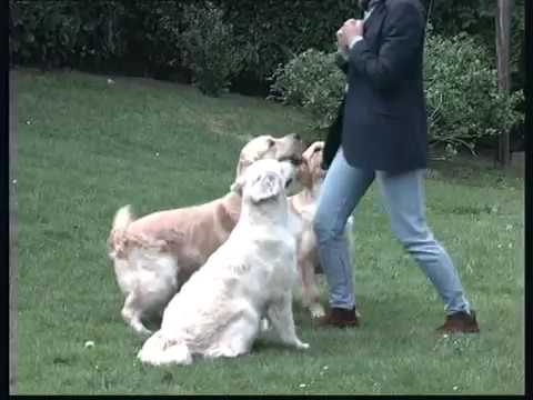 The Golden Retriever Pet Dog Documentary English