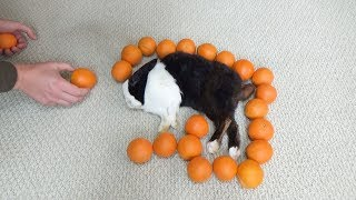 Waking A Rabbit By Surrounding Him With Oranges