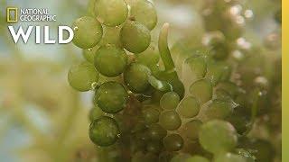 Camouflaged Slug Eats Sea Grapes | Nat Geo Wild