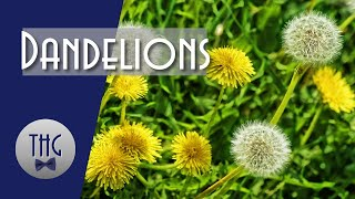 Dandelions And Civilization: A Forgotten History