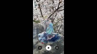 [MMD] 실제 벚나무 아래서 꿈과 벚나무 - 미쿠