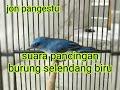 Download Lagu pancingan burung selendang biru jitu Mp3 Free