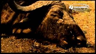 Sob o céu selvagem de África: caça ao búfalo, uma caça perigosa.