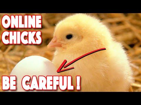 , title : 'Ordering Chickens Online | 5 Most IMPORTANT Factors | Top 4 Hatcheries