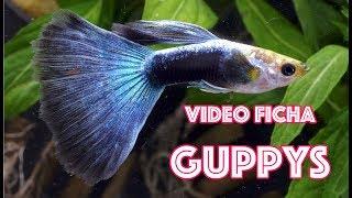Como mantener peces GUPPY en nuestros acuarios - video ficha