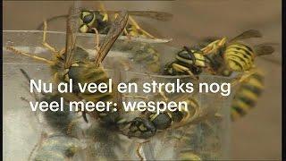 Waarom er dit jaar een wespenplaag komt - RTL NIEUWS