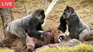 LIVE : Gorilla Attack Lion Save Team | Moments Of Animal Fight Battle - Wild Animal Planet 2018