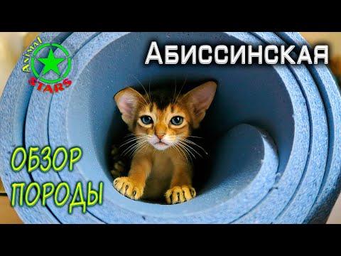 Абиссинская кошка - Обзор породы. Породы кошек. Домашние животные. Кормление кошек. Болезни кошек.