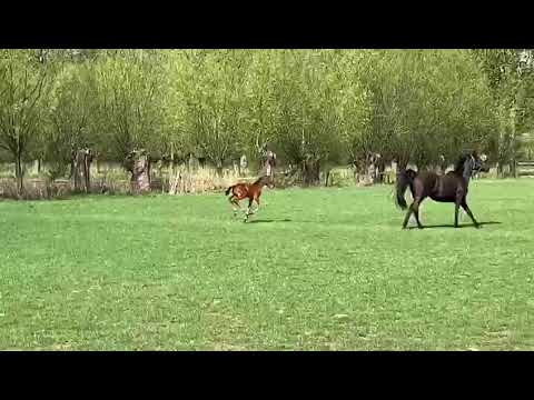 Foal by Foncetti vd heffinck