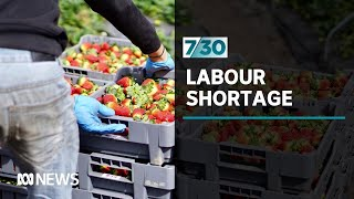 Farmers say a massive labour shortage is looming and households may feel the impact | 7.30