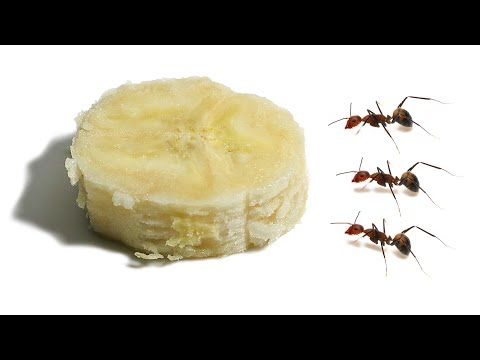 How Long Does it Take Ants to Devour a Slice of Banana?