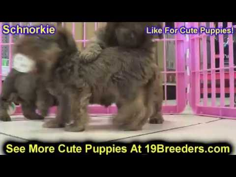 Schnorkie, Puppies, Dogs, For Sale, In Anchorage, Alaska, AK, 19Breeders, Fairbanks, Knik-Fairview Mp3