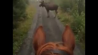 Download Video Horse rider runs into Moose in the Forest MP3 3GP MP4