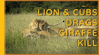 Lion and cubs drag a  giraffe || Masai Mara || Wild Extracts
