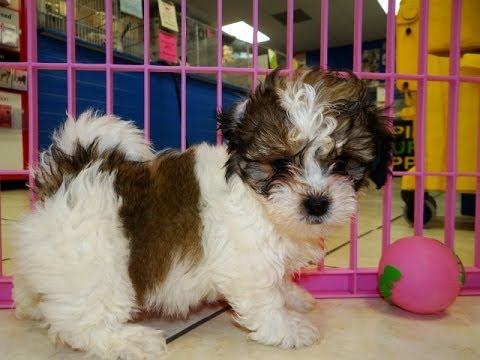 Teddy Bear, Puppies, Dogs, For Sale, In Columbia, South Carolina, SC, Mount Pleasant, Sumter