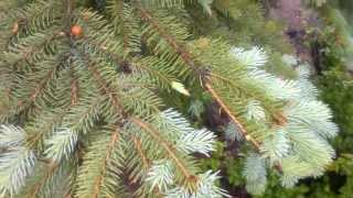 preview picture of video 'In City Bushcraft - Spruce Tea'