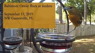 Baltimore Oriole flock at feeders in the peak of migration in North Central Florida