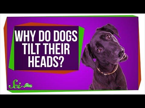 Why Do Dogs Tilt Their Heads