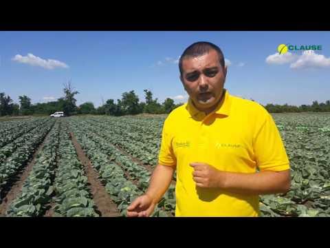 Опыт выращивания белокочанной капусты Сир F1 в Николаевской области