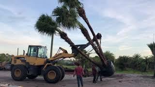 Chinese Fan Palm 25′ Loading