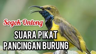 Suara Pikat Masteran Burung Sogok Ontong | Kicau Mania