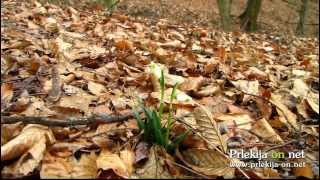 Zvončki že cvetijo sredi januarja