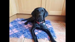 Sevie - 5 Month Old Labrador - 3 Weeks Residential Dog Training