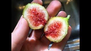 My Zone 7 In-Ground Fig List