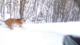 Дикий тигр бежит рядом с автомобилем