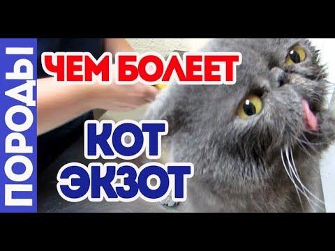 Чем болеет кот экзот. Породные болезни.