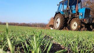 Посевы озимой пшеницы в разные сроки.