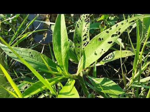 รูปภาพของโรคสะเก็ดเงิน palmoplantarny