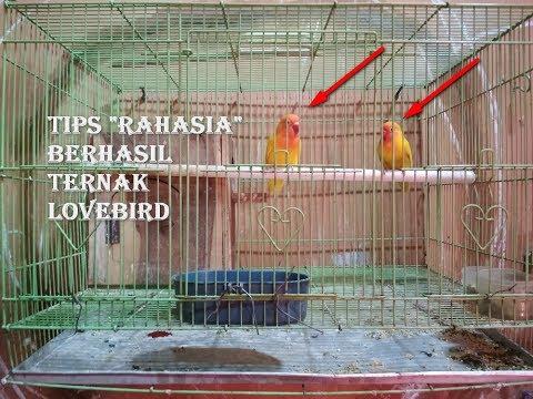 Video Cara Ternak Lovebird Bagi Pemula Agar Cepat Bertelur