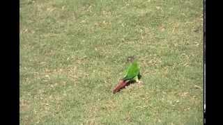 Oscar Wild Green Cheek Conure Free Flight At Georgia Tech