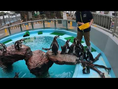 フンボルトペンギンの朝メシア