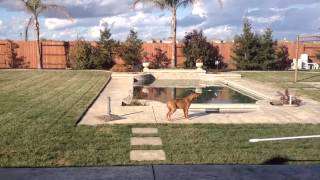 2-7-13 My Dog senses something in the backyard, what is going on? WATCH THIS!