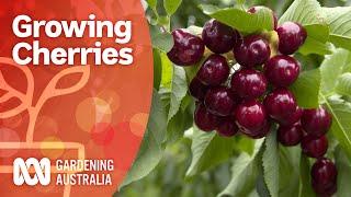 Growing cherry trees bursting with fruit   Growing fruit and veg   Gardening Australia