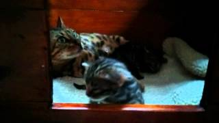 Baby Bengal Kittens Taking First Steps Super Cute!
