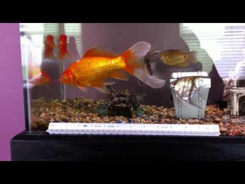 Possono stare 4 pesci rossi in un acquario da 40 litri for Acquario per pesci rossi usato